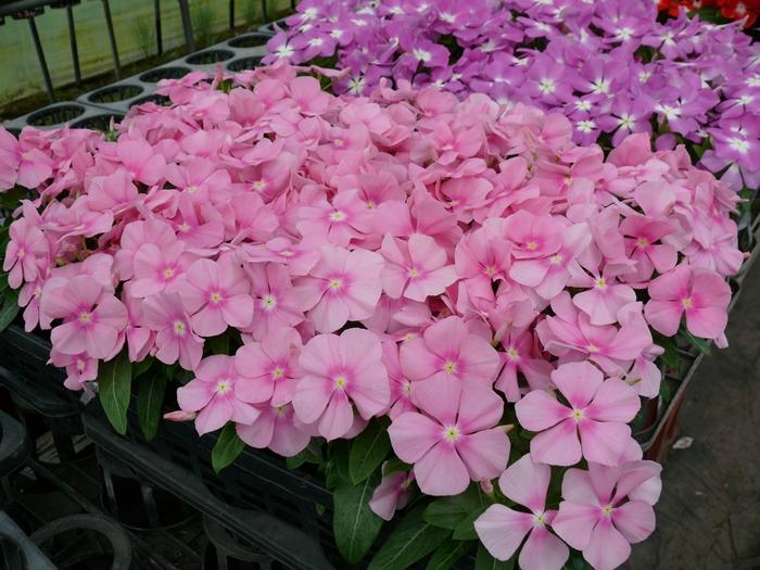 ピンク色のニチニチソウ