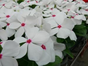 白色のニチニチソウ