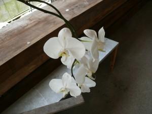 優しく咲く胡蝶蘭
