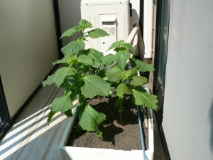 ベランダ栽培しているシソの葉