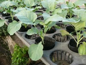 キャベツの苗を栽培