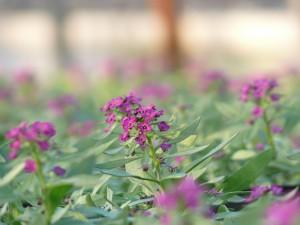 濃い紫色のアリッサム