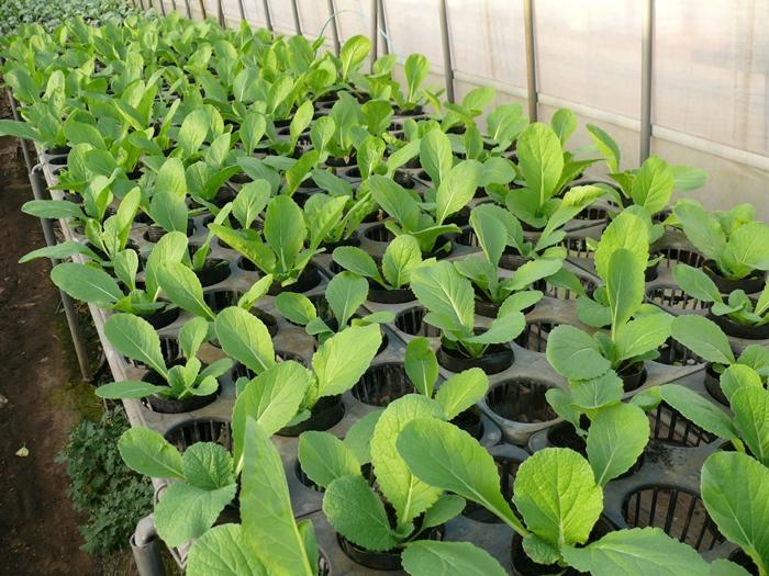 白菜の苗育苗ポットで栽培中