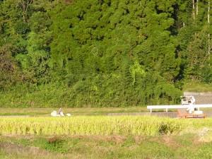 2012年稲刈りの時期