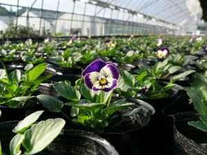 紫色のよく咲くスミレ開花