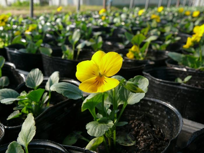 よく咲くスミレ開花し始める
