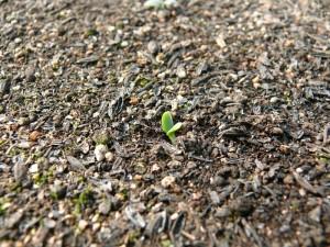 紫草の発芽