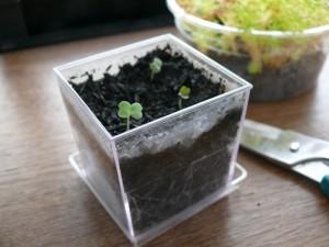 ミニプランターで室内栽培