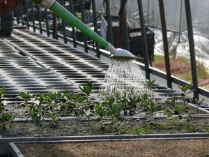 程よく水やり紫草