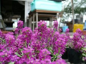 紫色のアリッサム