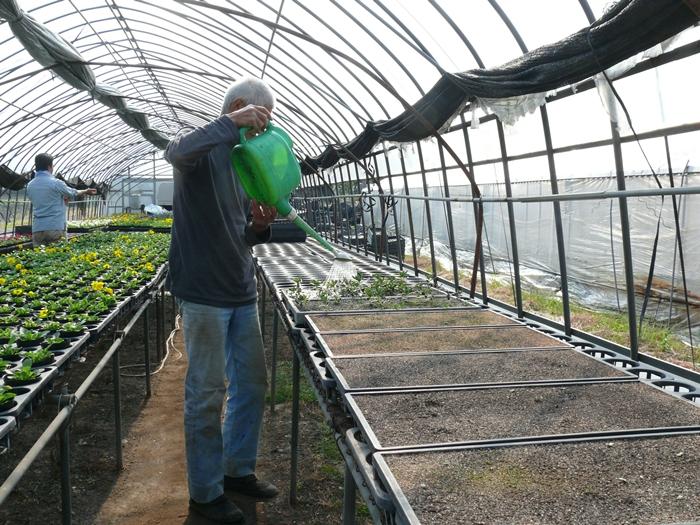 紫草に水を与える