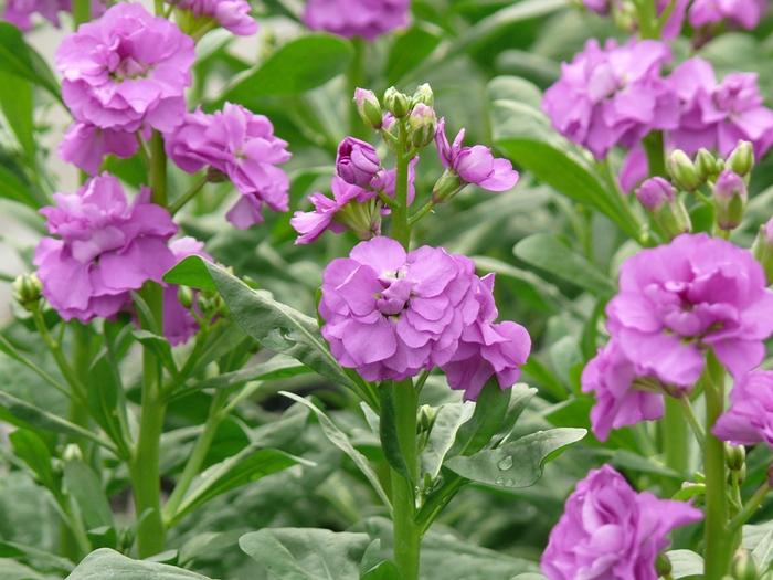 紫色のストック開花