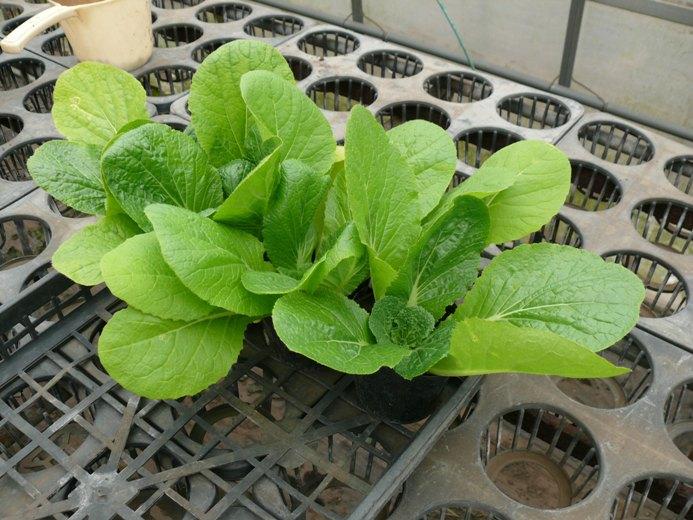 白菜の苗2012