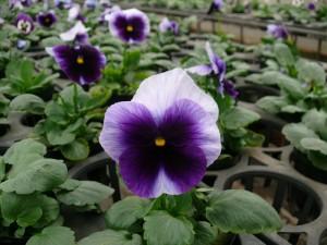 紫パンジー開花中