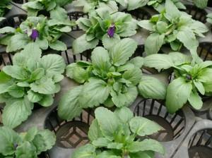 厚みのあるポット苗を栽培