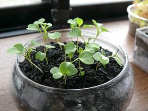 ベビーリーフを窓際で栽培