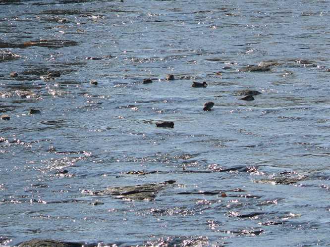 茜川に鴨たちが遊びに来た