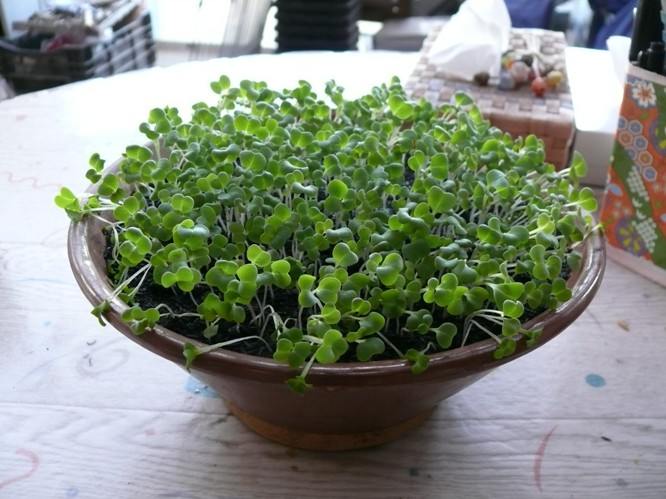 陶器で水菜を栽培する