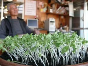 成長中の水菜たち