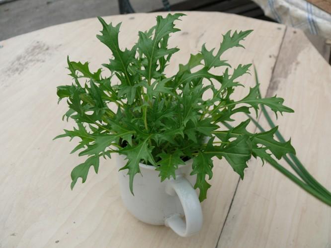 カップで水菜栽培