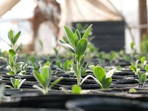 すっと成長する紫草