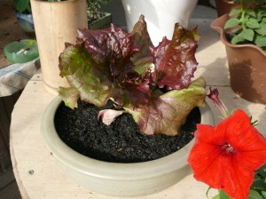 サニーレタスを鉢で栽培する