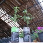 ミニトマト栽培とペットボトルのプランター