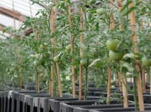 ミニトマトを栽培