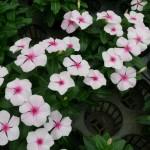 ニチニチソウ2013の花