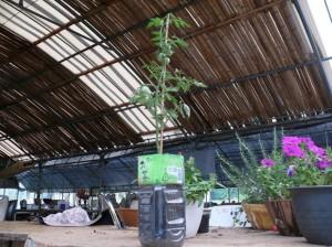 身近なペットボトルでミニトマト栽培