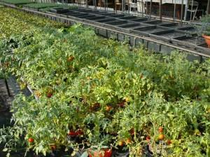 野生化したミニトマト