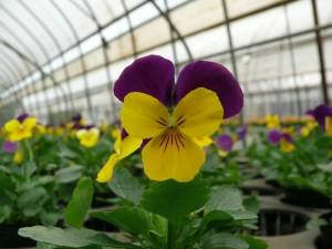 よく咲くスミレ黄色と紫