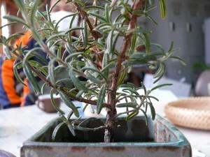 食卓で栽培するローズマリー
