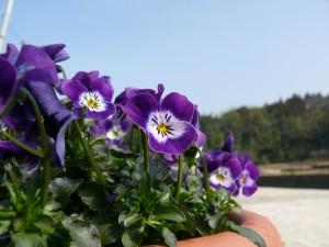 よく咲くビオラ