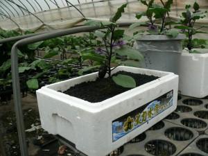 発泡スチロールでミニナス栽培