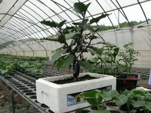 ミニナス栽培と発泡スチロールプランター
