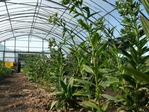 紫草は絶滅危惧種か