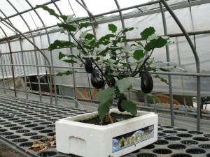 ミニナスの栽培