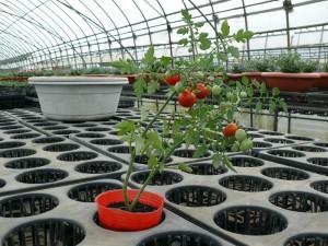 9cmポットでミニトマトを栽培