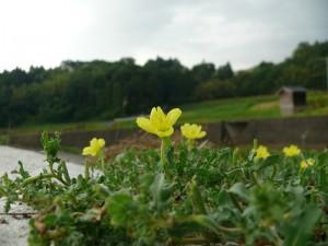 自然と黄色いお花