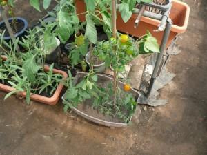 フルーツトマトを栽培