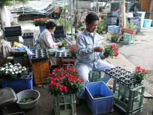 ニチニチソウと花摘み作業
