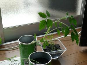 ミニトマトと窓際栽培