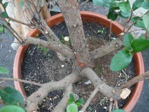 黒土でのフェイジョア栽培