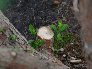 黒土とフェイジョアの芽