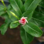 ニチニチソウの花咲くころ