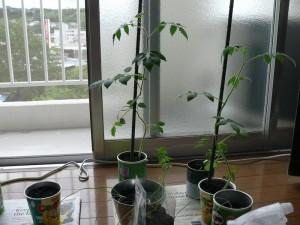 室内の窓際で栽培するミニトマト