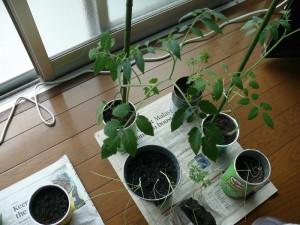 窓際栽培でミニトマトとミニタマネギ