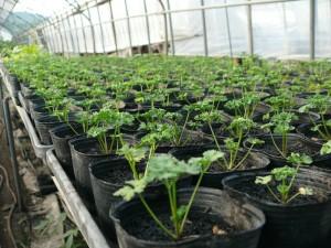 パセリのポット栽培
