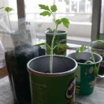 プリングルスでミニトマトを栽培